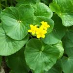 Marsh-Marigolds,