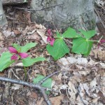 Trio-of-red-trillium