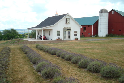 Controlling weeds within a lavender field can be difficult, and here at the Lockwood Farm they use landscape cloth. The barn in the background is a much needed addition to the farm for drying the lavender, and providing space for classes and functions. Photo: Helen Griffiths