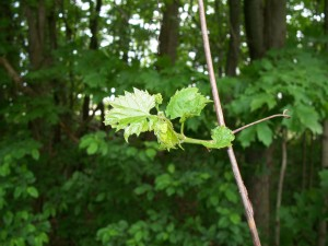 Newly sprouted wild grape leaves and a bud cluster which will mature into fruit