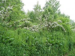 Roadside berm infested with multiflora rose