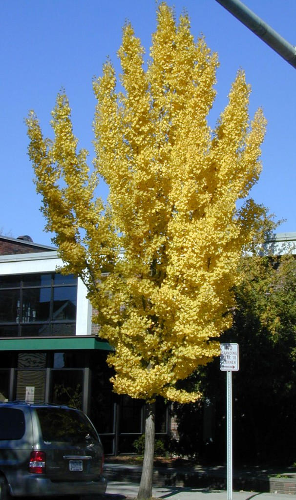 Male cultivars of Ginkgo biloba with showy fall color offer both beauty and, once established, drought tolerance.