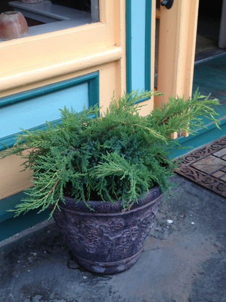Juniper in pot