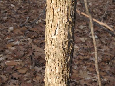 Hophornbeam bark