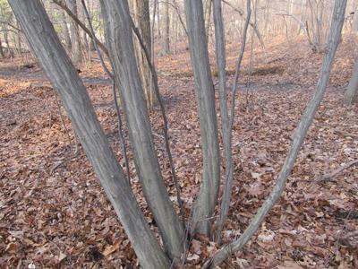 Hornbeam bark