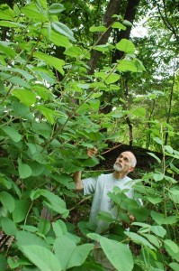 John Allen marveling at the luxurious growth of a large patch of knotweed along a road near our home in Syracuse, NY. Each time we pass this knotweed stand, we remark on its continuing growth and, so far, unchallenged spread along more and more of the roadside.