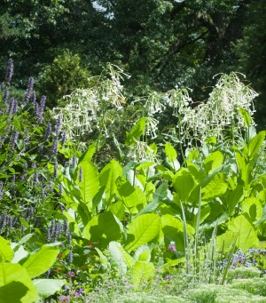 Nicotiana (Nicotiana sylvestris) is one of garden designer Milli Piccione's most valued volunteer annuals. Photo by Milli Piccione