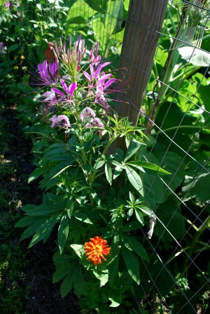Spider flower (Cleome hassleriana) is a common, welcome volunteer. Photo by Larry Decker
