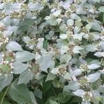 Pycnanthemum muticum mountain mint