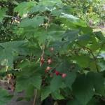Rubus odoratus fruits