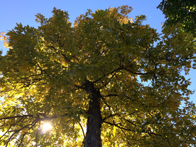 Shagbark hickory is a slow grower that rewards the patient with centuries of majestic beauty.