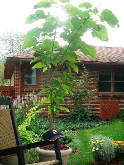 Catalpa delights with white flowers in late spring and brown seedpodsin winter
