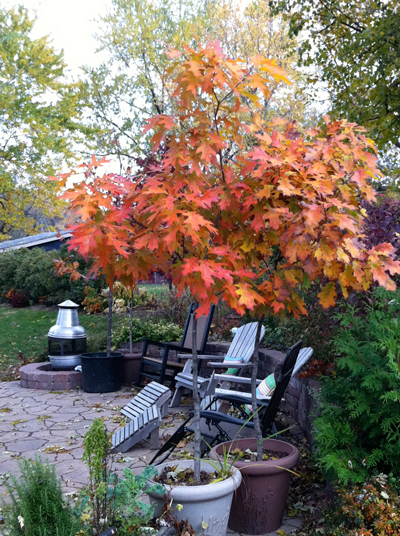 Red oak has beautiful fall color and is a relatively fast grower.