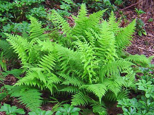 lady-fern-06