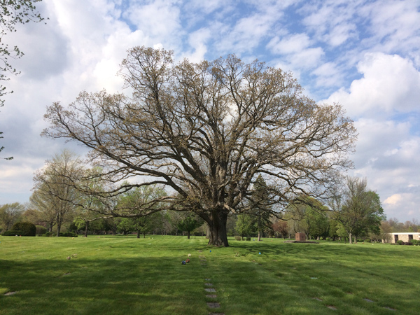 The oldest and largest tree at White Haven, a majestic red oak (Quercus rubra).