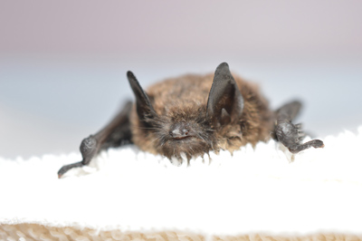 Little Brown Bat confirmed with white-nose syndrome. Photo courtesy Flickr: Progressive Animal Welfare Society (PAWS).