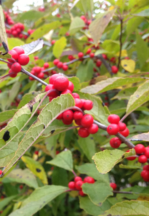 Time of fruitset, like on this winterberry holly (Ilex verticillata), is a phenophase that is tracked by phenologists. Photo by Michelle Sutton