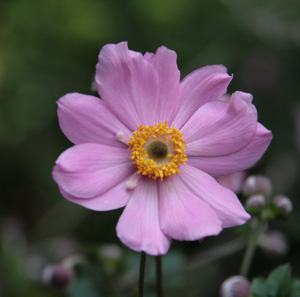 Japanese anemone, photo Jane Milliman