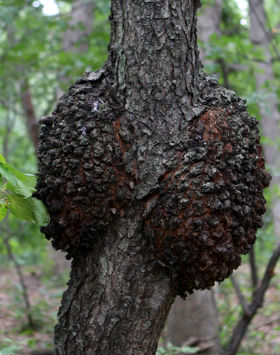 Black knot canker on cherry.