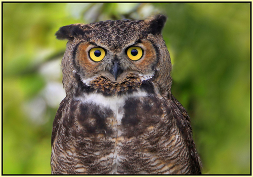 Great horned owl. Photo courtesy Flickr: Nigel