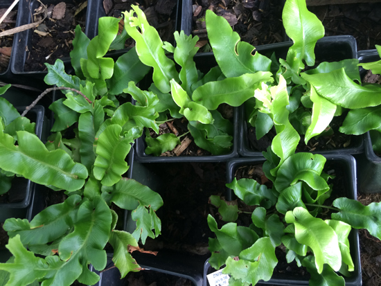 Hart's tongue fern (Asplenium scolpendrium)