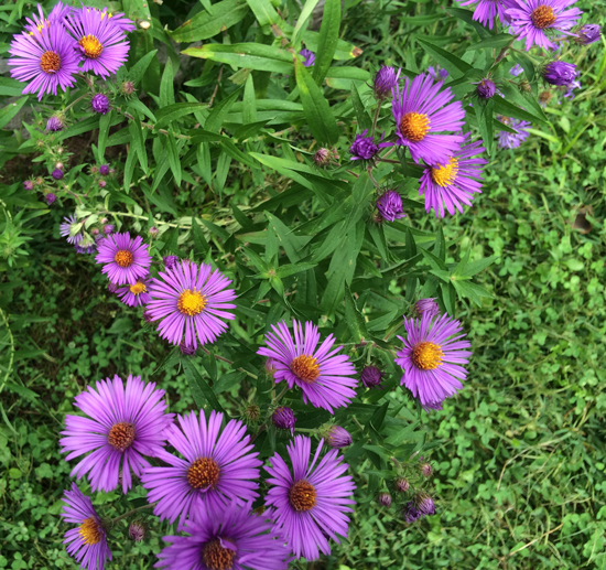 New England aster (Symphyotrichum novae-angliae) brings bold colors to the fall garden.
