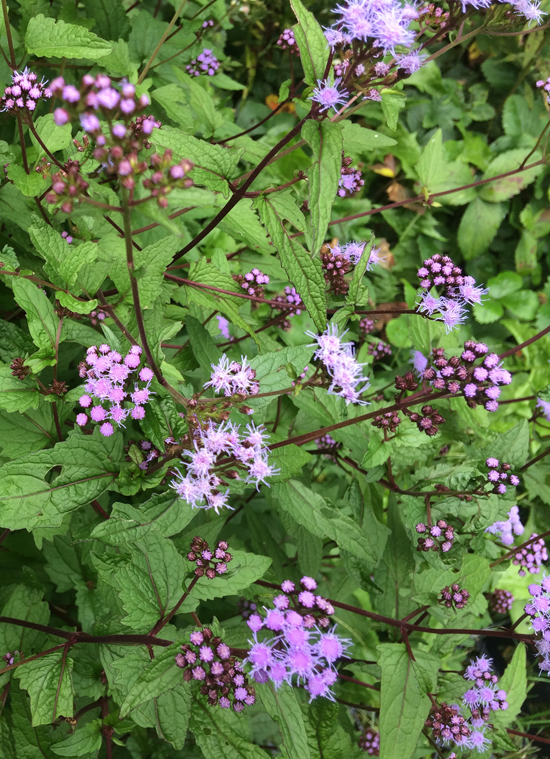The delightfully showy wild ageratum (Eupatorium coelestinum)