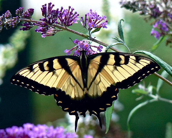 Eastern-Tiger-Swallowtail-with-Butterfly-Bush-flowers-public-domain