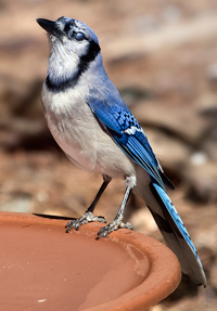 Blue jay. Photo courtesy Flickr: C Watts