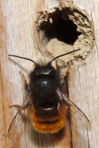 Mason bee at her future nursery. Photo courtesy Flickr: stanze