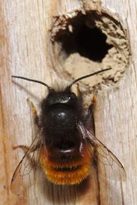 Mason bee at her future nursery. Photo courtesy Flickr: stanze