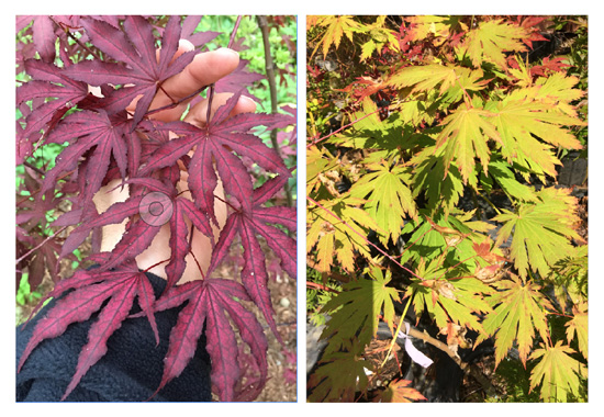 In The Land Of 750 Japanese Maples With Diana Smith